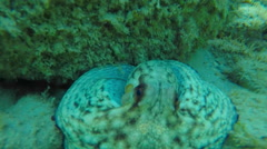 An octopus moving in Aegean sea Stock Footage