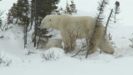 Polar Bear female with 3 months old cubs at denning site Stock Footage
