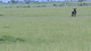 Wildebeest vs Lion, zooming out Stock Footage