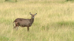 Waterbuck  female with calf, lock shot in high angle Stock Footage