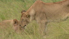 African Lionesses licking each other, lock shot in high angle Stock Footage