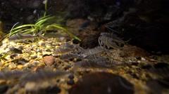 Pictus Catfish, (Pimelodus pictus) Stock Footage