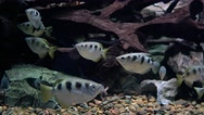 Toxotes jaculatrix (Banded Archerfish) Stock Footage