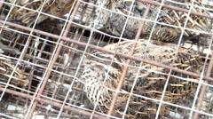 The quail is kept in a cage and sold on the street. Stock Footage