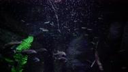 Gnathonemus petersii - Elephant nosed fish Stock Footage