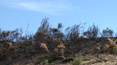 Burnt pine tree forest deforestation fire disaster Stock Footage