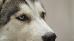 Husky dog close up face shot Stock Footage