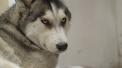 Husky dog looking sad Stock Footage