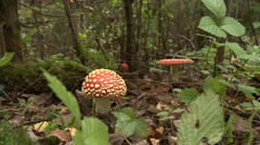 Fly Agaric Mushroom In Autumn Forest Stock Footage