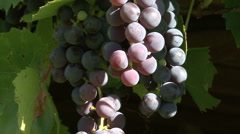 А bunch of black grapes on the green branches on the background of the Sun Stock Footage