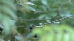 Aronia, chokeberry, on the green branches on the background of the Sun Stock Footage