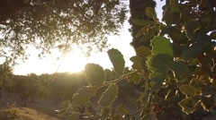 Cork branches tree at sunset alentejo portugal slow motion 120fps Stock Footage