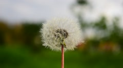 Dandelion and wind - Taraxacum officinale Stock Footage