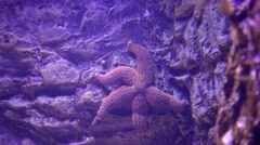 A starfish on the rock Stock Footage