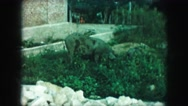 1958: two pigs, eating in a lush green garden as butterflies fly about  Stock Footage