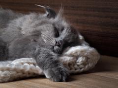 Gray cat sleeping. Many fur, muzzle contented kitten close Stock Photos