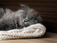 Gray cat sleeping. Many fur, muzzle contented kitten close Stock Photos