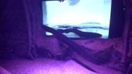 Electric eel in decorated aquarium Stock Footage