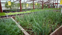 Industrial Greenhouse. Different Types of Vegetables Growing on the Ground. Stock Footage