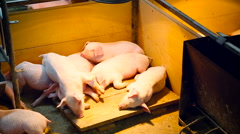 Farm. Little Piglets Sleeping Under the Electric Light on Wooden Platform in Stock Footage