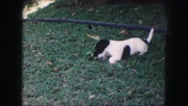 1958: an adorable black and white puppy playing with a toy in the grass  Stock Footage