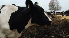 Farming Area. Black and White Cows Staying in Enclosure Outside, Eating Hay. Stock Footage