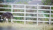 Ostriches walking along the fence in a farm Stock Footage