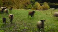 Rural Area. Flock of Brown Sheep Running in the Field. Early Autumn. Green Stock Footage