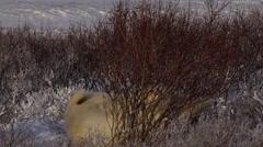 Polar bear rolls in snowy willows in golden morning light Stock Footage