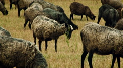 Rural Area. Flock of Grey and Brown Sheep Grazing in the Field. Short Dry Stock Footage