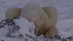Polar bear nibble at snowy kelp while lying down at dusk Stock Footage
