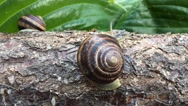 Snail crawling over a log and disappears, timelapse Stock Footage