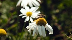 Summer. Rural Area. White Camomile Plant. Bee Sitting on the Flower, Collecting Stock Footage