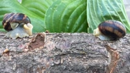 Two snails are sitting across from each other on a tree branch, timelapse Stock Footage