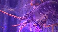 Lobsters in aquarium trekking shot Stock Footage
