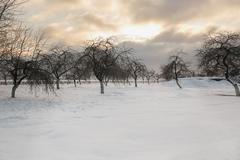 Winter beautiful Apple orchard at sunset Kuvituskuvat