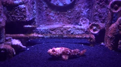 Scorpion fish in decorated aquarium Stock Footage