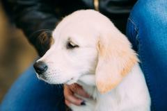 Close Up Young White Labrador Dog Puppy Stock Photos