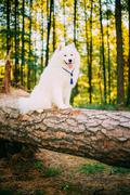 Happy White Samoyed Dog sitting on fallen tree Stock Photos