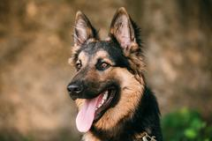Portrait Of Medium Size Long-Haired Mongrel Black And Red Dog Stock Photos