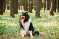 Staring To Camera Tricolor Scottish Rough Long-Haired Collie Lassie Stock Photos