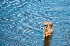 Bathing In Blue River Lake Water Alsatian Wolf Dog. Deutscher Stock Photos