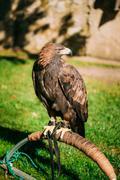 Sitting Golden Eagle Haliaeetus albicilla. Wild bird Stock Photos