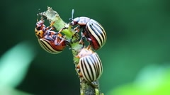 Colorado beetles eats stem of potato Stock Footage