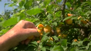 Hand picking plums from tree. Stock Footage