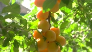Yellow cherry plums. Stock Footage