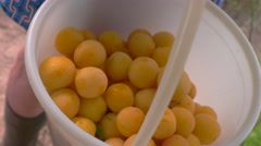 Bucket of cherry plums. Stock Footage