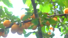Yellow plums on branch. Stock Footage