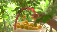 Bucket of yellow plums. Stock Footage