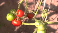 Red and green tomatoes. Stock Footage